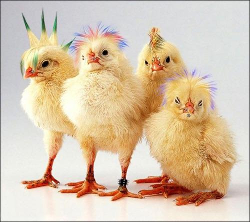 Петух или курица, как определить пол цыпленка